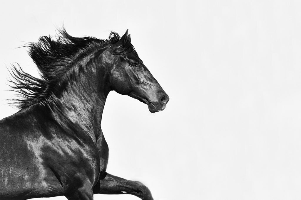 PRE stallion Educador by horse photographer Lisa Mardell