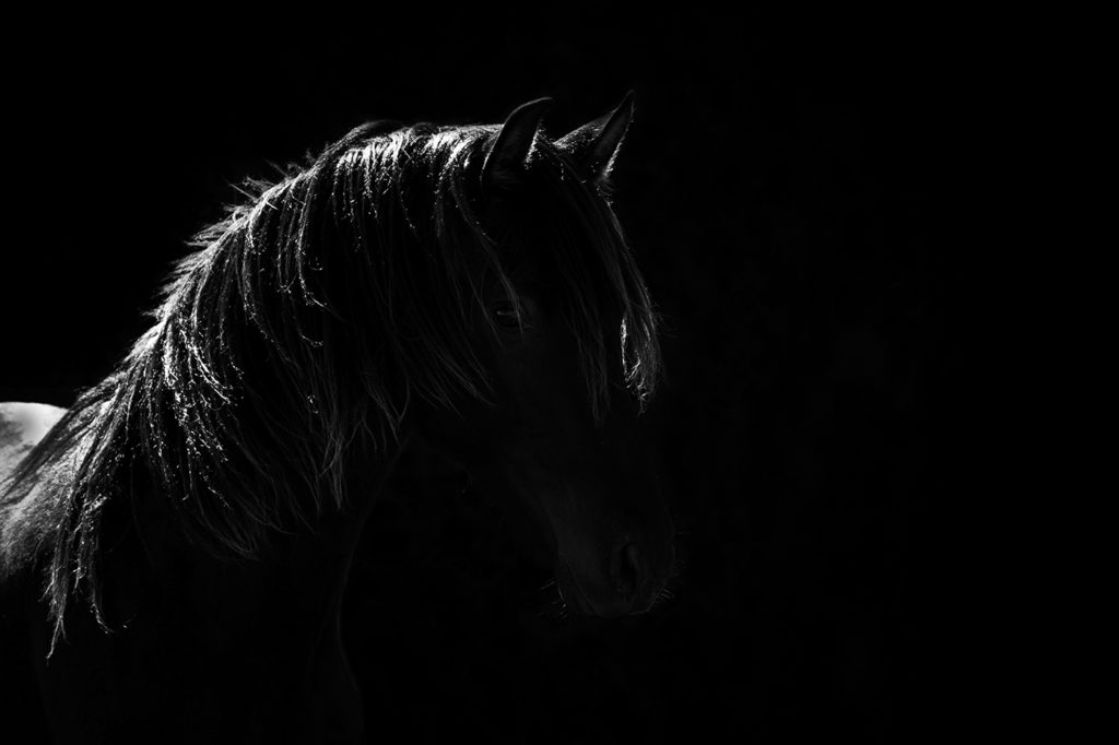 Mallorquin colt by horse photographer Lisa Mardell