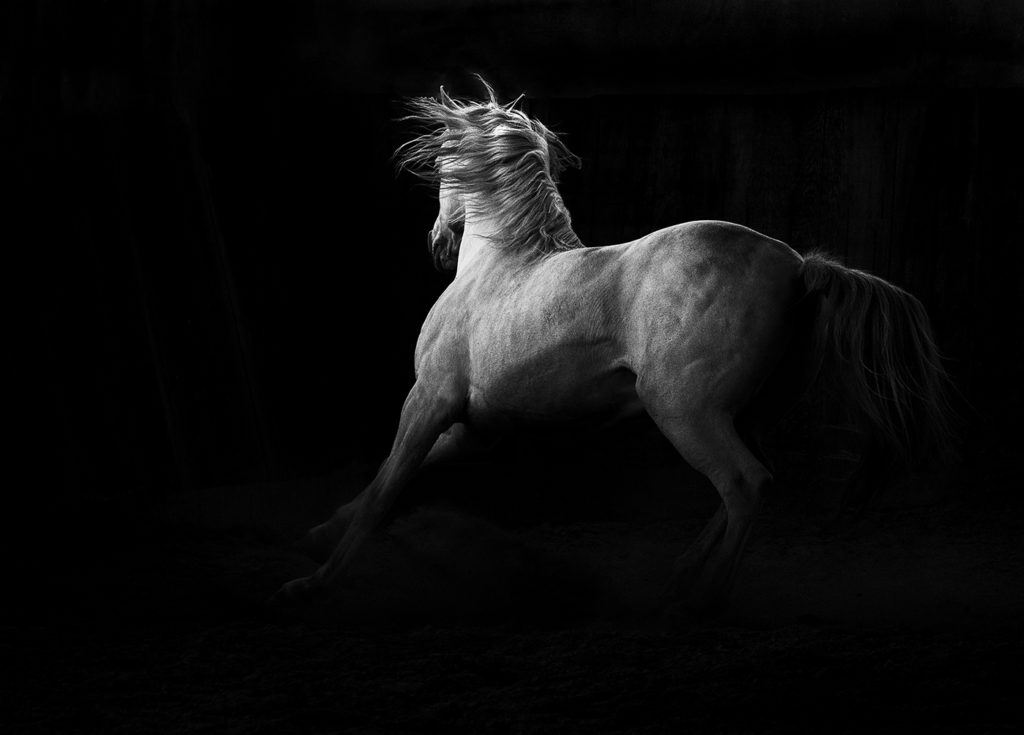 Ventero-PRE-stallion-horse-photographer-lisa-mardell (1)