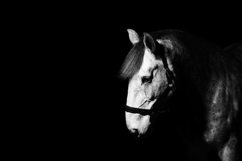 Irish Draught horse photographed in an indoor arena